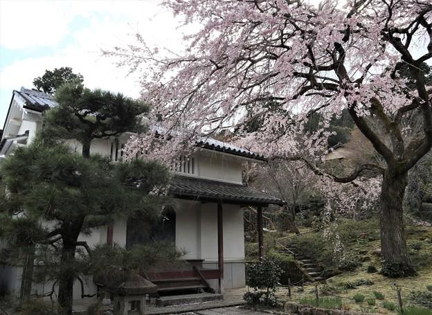 常寂光寺・枝垂桜1