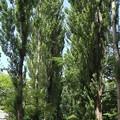ポプラ並木1