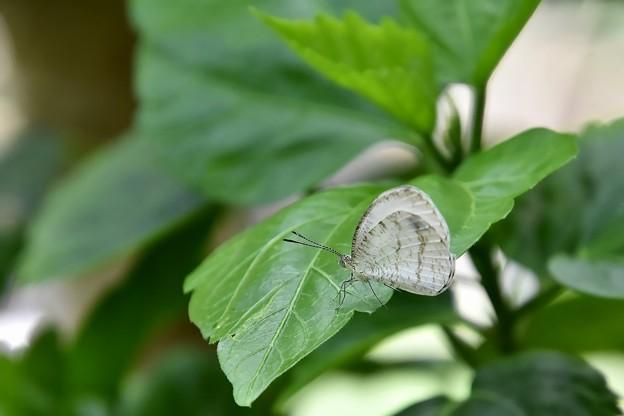 180422_005-クロテンシロチョウ