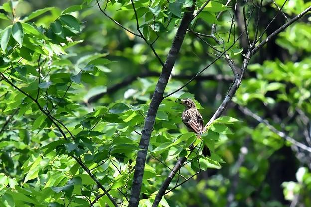 180622_010-ホオジロ幼鳥