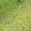 菜の花散歩