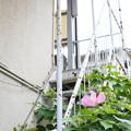 Photos: 階段に咲く