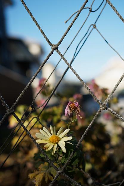 写真: ネット際に咲く