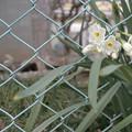 Photos: 公園の水仙
