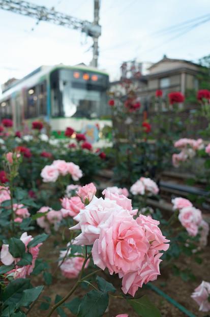 薔薇と路面電車