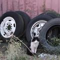 写真: タイヤと猫
