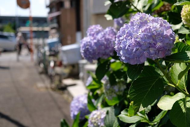 紫陽花小路