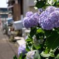 Photos: 紫陽花小路