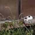 写真: 縁側の猫
