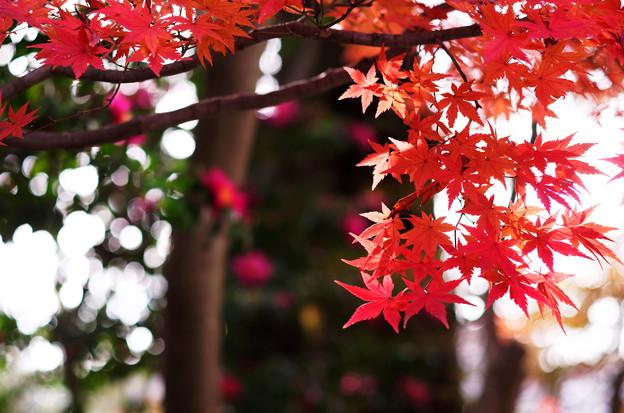 紅葉と山茶花