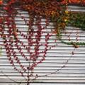 シャッターの紅葉