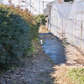 Photos: 畑猫