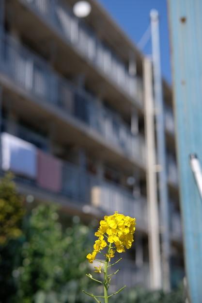 団地の菜の花