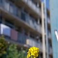 Photos: 団地の菜の花