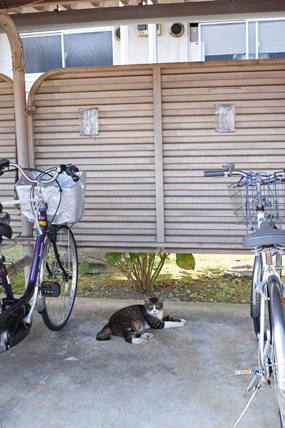 駐輪場の猫