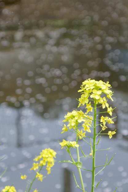 小川の菜の花