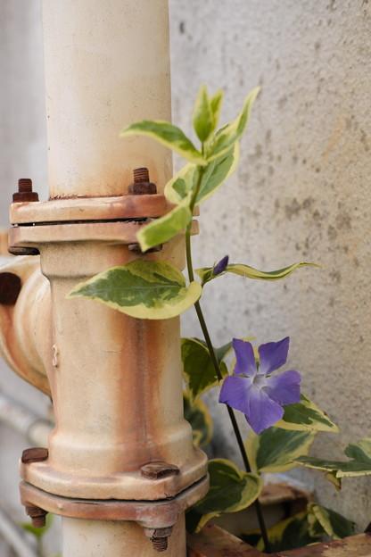 配管の陰の花