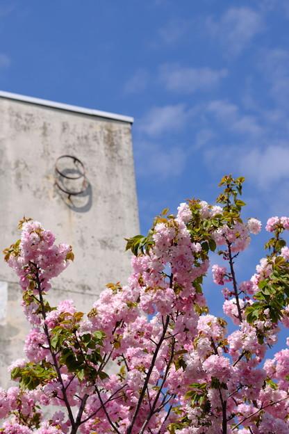 9号棟の桜