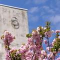 Photos: 9号棟の桜