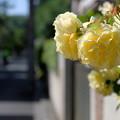薔薇咲く路地