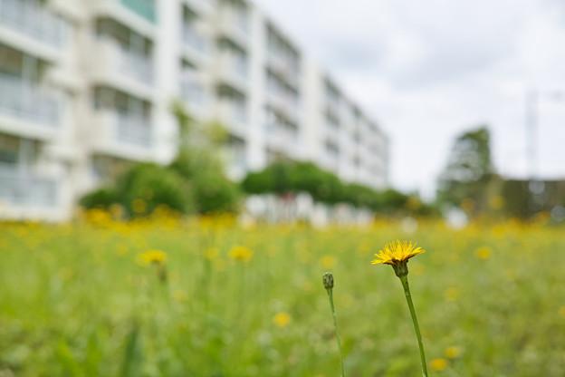 団地の黄色い花