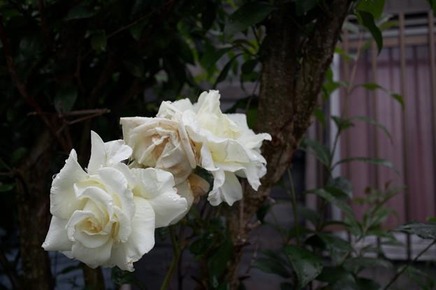 窓辺の白い薔薇