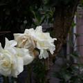 Photos: 窓辺の白い薔薇