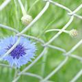 Photos: フェンスの花