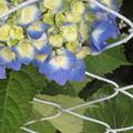フェンスの紫陽花
