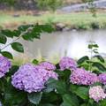 Photos: 川辺の紫陽花