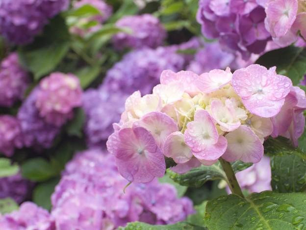 紫陽花三景 1