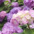 Photos: 紫陽花三景 1