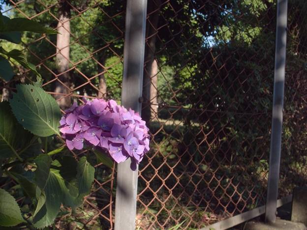紫陽花三景 2