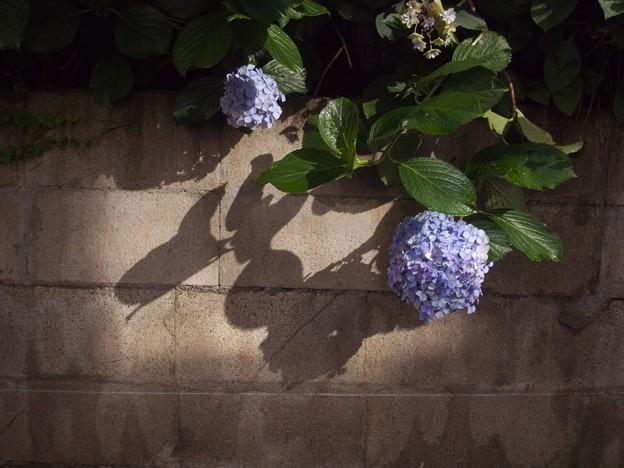 紫陽花三景 3