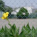 Photos: 校庭のカンナ