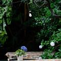 テーブルの紫陽花