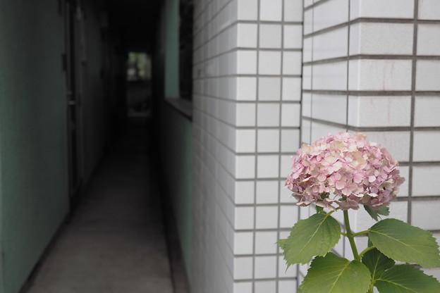 アパートの紫陽花