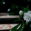 Photos: くちなし