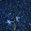 Photos: 押し花