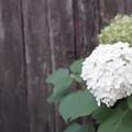 白い紫陽花