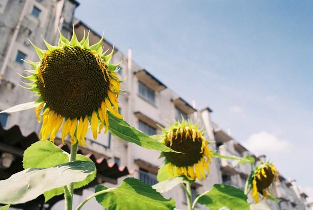 団地の向日葵