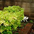 Photos: 植込みの猫