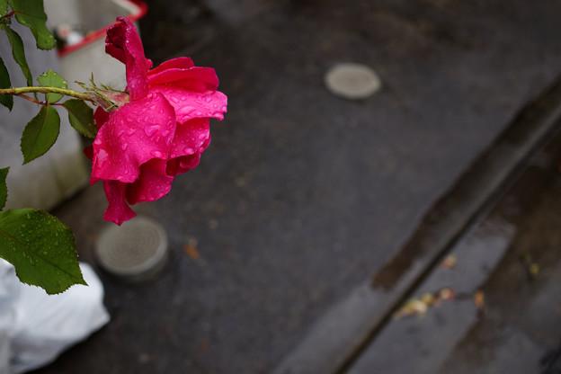 路地に咲く薔薇