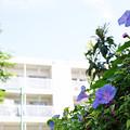 Photos: 団地の朝顔