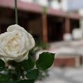 団地の薔薇
