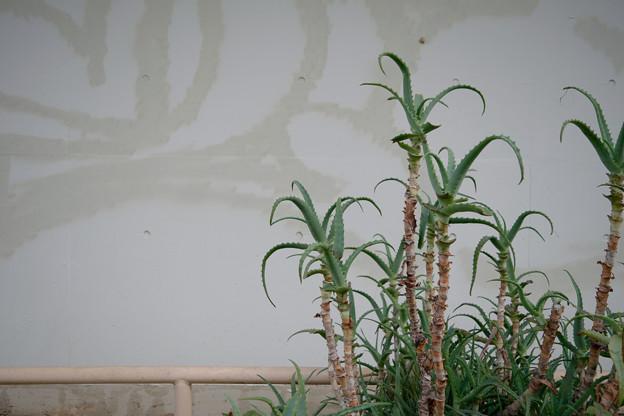 アロエと壁