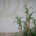 Photos: アロエと壁