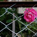 Photos: 薔薇