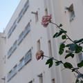 Photos: 枯れ薔薇