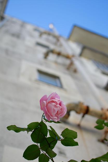 薔薇を見上げる